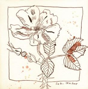 Wilde Rose - Zeichnung von Susanne Haun
