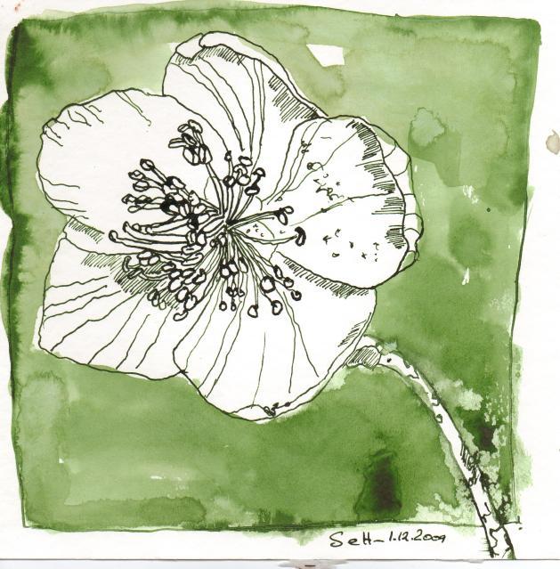 Christrose - Zeichnung von Susanne Haun - 20 x 20 cm - Tusche auf Bütten