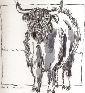 Highlandrind - Zeichnung von Susanne Haun - 20 x 20 cm - Tusche auf Bütten