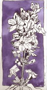 Lavendel - Zeichnung von Susanne Haun - 30 x 15 cm - Tusche auf Bütten
