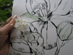 Größenvergleich Jasminblüte mit meiner Zeichnung