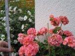 1,46 m sind die Geranien bei meiner Mutter im Garten - Foto von Susanne Haun