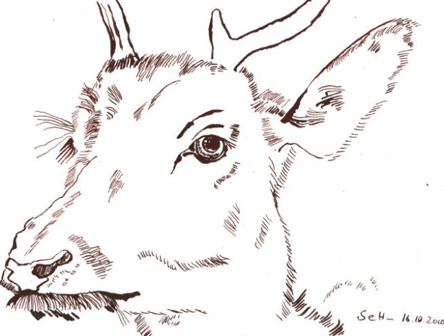 Hirschkietz - Zeichnung von Susanne Haun - 17 x 22 cm - Tusche auf Bütten