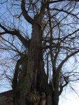 Ein sehr eindrucksvoller Baum in Haldensleben - Foto von Susanne Haun