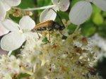 Der Käfer ertrinkt fast in den Pollen - Foto von Susanne Haun