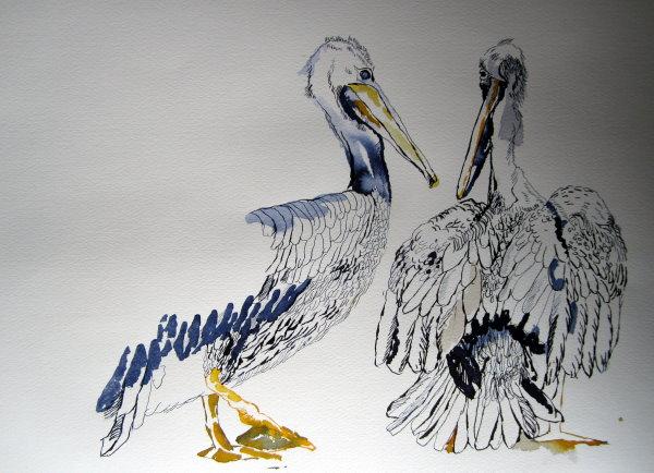 Entstehung Drei Pelikane - Zeichnung von Susanne Haun - 30 x 40 cm - Tusche auf Hahnemühle Bütten