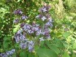 Immer wieder brechen Blüten das Grün des Waldes auf - hier Flieder - Foto von Susanne Haun