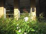Rosen vor meinem Atelier - Foto von Susanne Haun