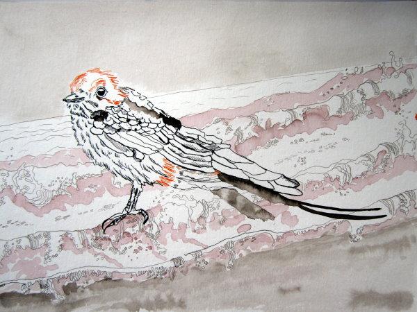 Seinen Namen hat er davon, dass er wie eine Schwalbe oder wie ein Wiesel auf dem Meer umherläuft- Zeichnung von Susanne Haun - Tusche auf Bütten - 30 x 40 cm