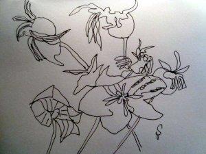 Skizze verblühte Ballonblumen von Susanne Haun