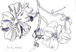 Wilde Rosen - Zeichnung von Susanne Haun - 17 x 22 cm - Tusche auf Hahnemühle cornwall
