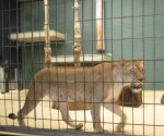 Im Berliner Zoo - Löwin - Foto von Susanne Haun