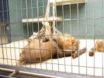 Im Berliner Zoo - Löwe - Foto von Susanne Haun