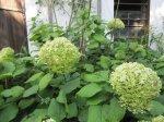 Hortensien im Garten von Steffie - Foto von Susanne Haun