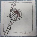 Entstehung Hibiskus Vers. 1 - Zeichnung von Susanne Haun - Tusche auf Silberburg - 10 x 10 cm