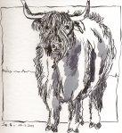 Highlandrind - Zeichnung von Susanne Haun - Tusche auf Bütten - 15 x 15 cm