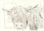 Highland Rind - Zeichnung von Susanne Haun - Tusche auf Bütten - 15 x 20 cm