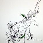 Ornithogalum,30 x 30 cm, Version 2 (c) Zeichnung von Susanne Haun