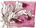 Trompetenblume (c) Zeichnung von Susanne Haun