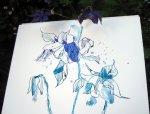 Entstehung Akelei (c) Zeichnung von Susanne Haun