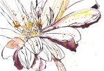 Gerbera I (c) Zeichnung von Susanne Haun
