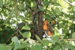 Aprikosenbaum (c) Foto von Susanne Haun