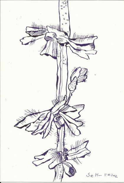 Lila Blumen aus Dänemark (C) Zeichnung von Susanne Haun