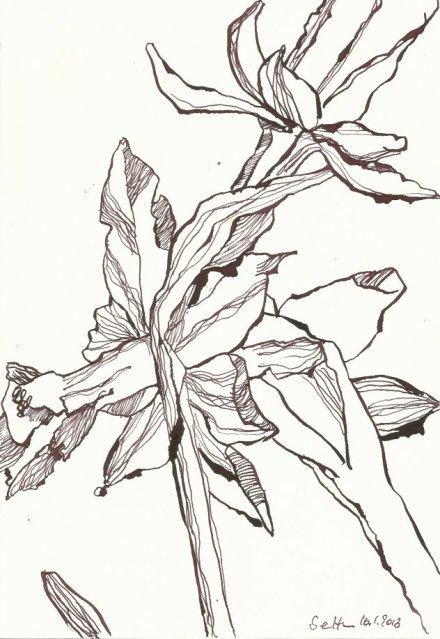 Narzissen 18 x 26 cm Tusche auf Hahnemühle Bütten (c) Zeichnung von Susanne Haun Vers. 3