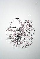Buschrose (c) Zeichnung von Susanne Haun