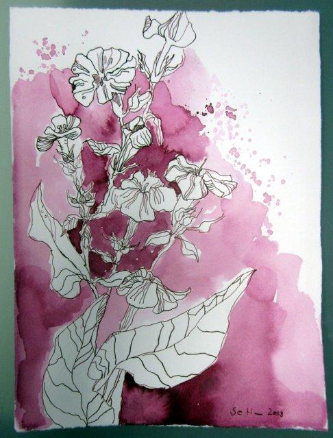 Phlox (c) Zeichnung von Susanne Haun