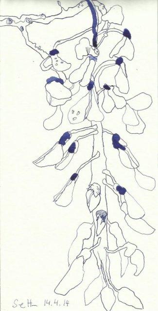 Glyzinien Version 1 (c) Zeichnung von Susanne Haun