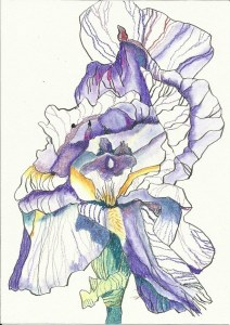 Iris Version 1 (c) Zeichnung von Susanne Haun