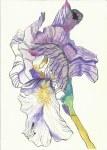 Iris Version 2 (c) Zeichnung von Susanne Haun