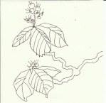 Kastanienblüten (c) Zeichnung von Susanne Haun