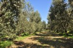 Olivenhain in der Toskana (c) Foto von M.Fanke