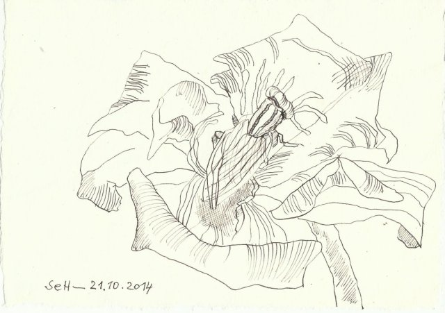 Rose (c) Zeichnung von Susanne Haun