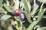 Olivenhain in der Toskana (c) Foto von Susanne Haun