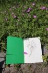 Lila Blume im Britzer Garten (c) Zeichnung von Susanne Haun