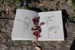 Verblühte Tulpen im Britzer Garten (c) Zeichnung von Susanne Haun
