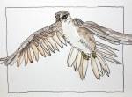 Falke - 30 x 40 cm auf Hahnemühle Burgund (c) Zeichnung von Susanne Haun
