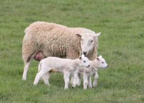 Schafe am Wegesrand von Norfolk (c) Foto von Susanne Haun (2)