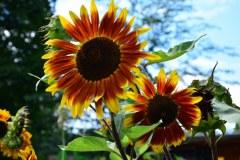 Sonnenblumen im Himmelbeet (c) Foto von M.Fanke