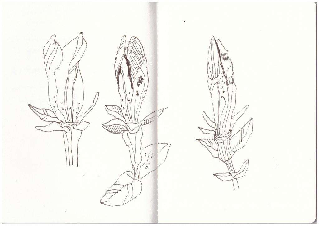 Enzian zeichnung von susanne haun susanne haun - Garten zeichnung ...
