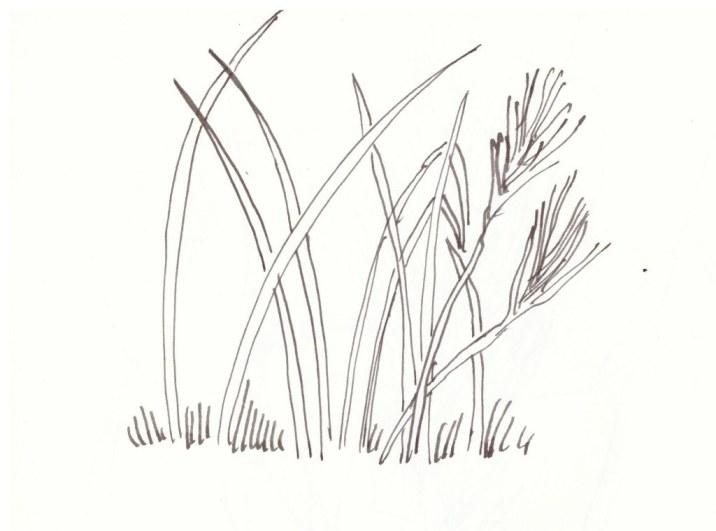 Gräser (c) Zeichnung von Susanne Haun
