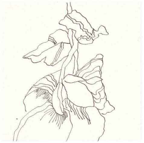 2 Christrose (c) Zeichnung von Susanne Haun