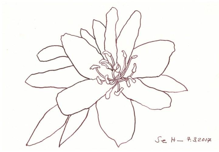 Winterlinge - 17 x 22 cm - Tusche auf Aquarellkarton - Version 2 (c) Zeichnung von Susanne Haun