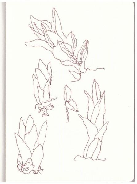 Teichblumen (c) Zeichnung von Susanne Haun