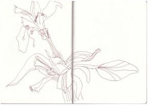 Verblühte Lilie (c) Zeichnung von Susanne Haun