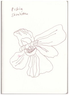 Pistia Stratiotes - Wassersalat (c) Zeichnung von Susanne Haun