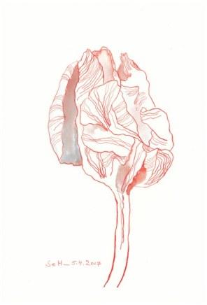 Rote verblühte Tulpe - 26 x 18 cm - Tusche auf Aquarellkarton (c) Zeichnung von Susanne Haun